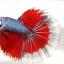 """""""คัดเกรดประกวด""""ปลากัดครีบยาว-Halfmoon Fancy Red Butterfly Premium Quality Grade AAA+ thumbnail 8"""