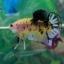 """(ขายแล้วครับ)""""Grade A""""ปลากัดครีบสั้น-Halfmoon Plakats Super Fancy Koi Grade A thumbnail 6"""