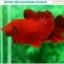 """(ขายแล้วครับ)""""คัดเกรดประกวด""""ปลากัดครีบสั้น-Over Halfmoon Plakats Super Red Quality Grade thumbnail 2"""
