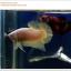 คัดเกรดปลากัดครีบสั้น-Halfmoon Plakat Gold Dragon Quality Grade thumbnail 2