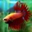 (ขายแล้วครับ)ปลากัดครีบยาวหางมงกุฎ-Crowntails Red thumbnail 2