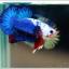 คัดเกรดปลากัดครีบสั้น-Halfmoon Plakat Blue Dragon White Monster thumbnail 2