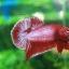 (ขายแล้วครับ)ปลากัดครีบสั้น - Halfmoon Plakats RED2 thumbnail 5