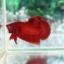 """(ขายแล้วครับ)""""คัดเกรด""""ปลากัดครีบสั้น-Halfmoon Plakats Super Red#2 Grade B+ thumbnail 9"""