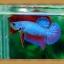 ปลากัดครีบสั้น - Fancy Halfmoon Plakats thumbnail 2