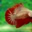 คัดเกรดปลากัดครีบสั้น - HalfMoon Plakad Red Dragon Quality Grade AAA+ thumbnail 1