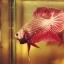 """(ขายแล้วครับ)มังกรแดง""""คัดเกรด""""ปลากัดครีบสั้น-Halfmoon Plakats Red Dragon thumbnail 4"""