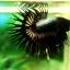 (ขายแล้วครับ)ปลากัดครีบยาวหางมงกุฎ-Crowntails Black Copper Quality Grade thumbnail 4
