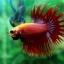(ขายแล้วครับ)ปลากัดครีบยาวหางมงกุฎ-Crowntails Red thumbnail 3