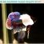 """(ขายแล้วครับ)""""คัดเกรดประกวด""""ปลากัดครีบสั้นหูช้าง-Halfmoon Plakats Big Ear Lavender Quality Grade thumbnail 12"""
