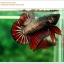 คัดเกรดปลากัดครีบสั้น-Halfmoon Plakat Copper Quality Grade thumbnail 3