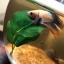สินค้านำเข้าจากประเทศญี่ปุ่นใบไม้ผลิตจากผ้าอย่างดี - Leaf Natural Aquarium For Bettafish Premium Quality Grade thumbnail 6