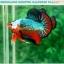 """(ขายแล้วครับ)""""คัดเกรดประกวด""""ปลากัดครีบสั้น-Over Halfmoon Plakats Fancy Dragon Green Orange Monster Quality Grade thumbnail 6"""