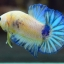 คัดเกรดปลากัดครีบสั้น-Halfmoon Plakad Fancy Marble Hi Quality Grade thumbnail 2