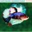 """(ขายแล้วครับ)""""คัดเกรดประกวด""""ปลากัดครีบสั้น-Halfmoon Plakats Fancy Dragon Koi Quality Grade thumbnail 3"""