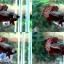 ปลากัดครีบสั้น-Halfmoon Plakats Copper thumbnail 1