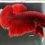 """(ขายแล้วครับ)""""คัดเกรด""""ปลากัดครีบสั้น-Halfmoon Plakats Red thumbnail 4"""