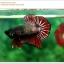 คัดเกรดปลากัดครีบสั้น-Halfmoon Plakat Copper Quality Grade thumbnail 2