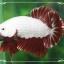 """(ขายแล้วครับ)""""คัดเกรด""""ปลากัดครีบสั้นเทพมากๆสวยแบบเนียนลงตัว-Halfmoon Plakats Red Dragon2 thumbnail 4"""