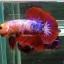 ปลากัดคัดเกรดครีบสั้น - Halfmoon Plakad Fancy Dragon Quality Grade AAA+ thumbnail 1
