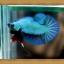 (ขายแล้วครับ)ปลากัดครีบสั้น - Halfmoon Plakats SUPPERBLUE thumbnail 2
