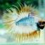 (ขายแล้วครับ)ปลากัดครีบยาวหางมงกุฎ-Crowntails01 thumbnail 3