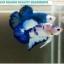 """(ขายแล้วครับ)""""คัดเกรด""""ปลากัดครีบสั้น-Halfmoon Plakats Blue Dragon thumbnail 1"""