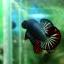 """(ขายแล้วครับ)""""คัดเกรด""""ปลากัดครีบสั้น-Halfmoon Plakats Fancy Dragon Green Red thumbnail 10"""