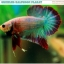"""(ขายแล้วครับ)""""คัดเกรด""""ปลากัดครีบสั้น-Halfmoon Plakats Fancy Grizzled thumbnail 1"""