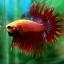 (ขายแล้วครับ)ปลากัดครีบยาวหางมงกุฎ-Crowntails Red thumbnail 4