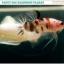 """""""คัดเกรด""""ปลากัดครีบสั้น-Halfmoon Plakats Fancy Koi thumbnail 4"""
