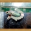 ปลากัดครีบยาว-Fancy Halfmoon Plakats thumbnail 5