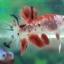 """(ขายแล้วครับ)""""คัดเกรด""""ปลากัดครีบสั้น-Halfmoon Plakats Fancy Red Koi thumbnail 4"""