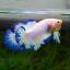 คัดเกรดปลากัดครีบสั้น-Halfmoon Plakad Fancy Marble Qaulity Grade thumbnail 4