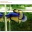คัดเกรดปลากัดครีบสั้น-Halfmoon Plakat Mustrad Quality Grade thumbnail 8