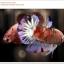คัดเกรดปลากัดครีบสั้น-Halfmoon Plakat Koi Ice Fancy thumbnail 5