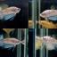 """(ขายแล้วครับ)ตอนรับเทศกาล สงกรานต์ """"คัดเกรด""""ปลากัดครีบสั้น-Halfmoon Plakats Super Fancy Koi thumbnail 1"""