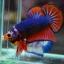 คัดเกรดปลากัดครีบสั้น-Halfmoon Plakad Fancy Dragon Hi Quality Grade thumbnail 4