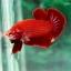 (ขายแล้วครับ)ปลากัดครีบสั้น - Halfmoon Plakats SUPER RED thumbnail 2