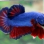 """(ขายแล้วครับ)""""คัดเกรด""""ปลากัดครีบสั้น-Halfmoon Plakats Fancy Blue Red thumbnail 5"""