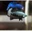 """(ขายแล้วครับ)""""คัดเกรด""""ปลากัดครีบสั้น-Halfmoon Plakats Black Dragon Samuri thumbnail 9"""