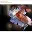 คัดเกรดปลากัดครีบสั้น-Halfmoon Plakat Koi Ice Fancy thumbnail 1