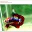 คัดเกรดปลากัดครีบสั้น-Hi- Quality Halfmoon Plakat Fancy Red Black Eye Quality Grade thumbnail 7