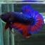 ปลากัดคัดเกรดครีบสั้น - Halfmoon Plakad Fancy Dragon(Red Blue) Quality Grade AAA+ thumbnail 1