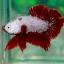 (ขายแล้วครับ)ปลากัดครีบสั้น - Halfmoon Plakats RED DRAGON2 thumbnail 1