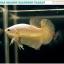 """(ขายแล้วครับ)""""คัดเกรด""""ปลากัดครีบสั้น-Halfmoon Plakats Super Gold Dragon 02 thumbnail 3"""