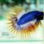 (ขายแล้วครับ)ปลากัดครีบยาวหางมงกุฎ-Crowntails02 thumbnail 3