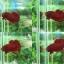 """(ขายแล้วครับ)""""คัดเกรด""""ปลากัดครีบสั้น-Halfmoon Plakats Super Red#1 Grade B+ thumbnail 1"""