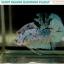 """(ขายแล้ว)""""คัดเกรด""""ปลากัดครีบสั้น-Halfmoon Plakats Fancy Dragon Marble thumbnail 4"""