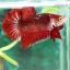 (ขายแล้วครับ)ปลากัดครีปสั้น - Fancy Halfmoon Plakats thumbnail 1